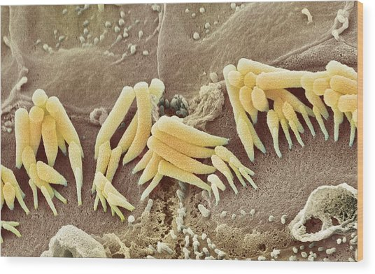 Inner Ear Hair Cells, Sem Wood Print by Steve Gschmeissner