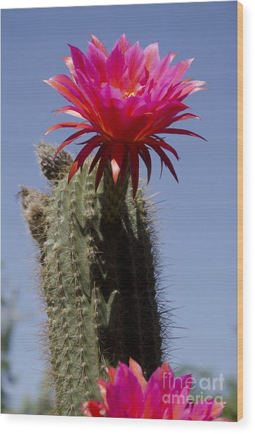 Pink Cactus Flower Wood Print