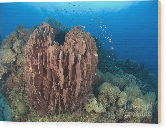 A Barrel Sponge Attached To A Reef Wood Print