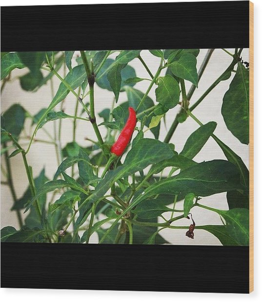 A Chili Fruit Ripe And Waiting To Be Wood Print