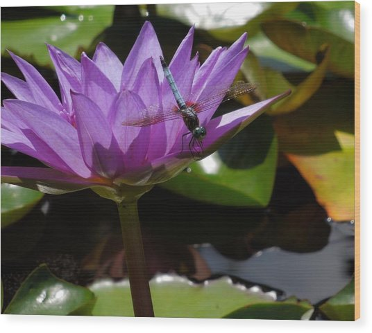 A Dragonfly Guarding His Water Lily Wood Print