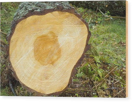 A Felled Tree Trunk Wood Print by Duncan Shaw