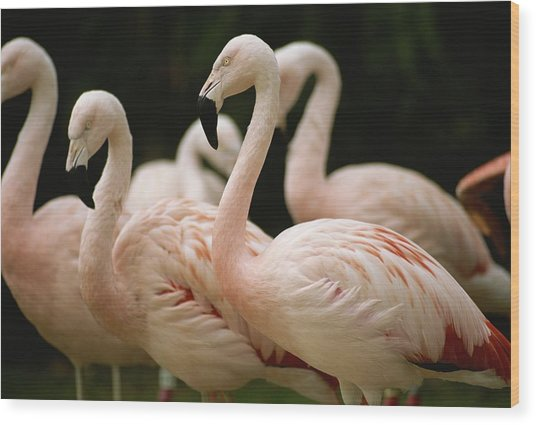 A Flock Of Chilean Flamingos Wood Print