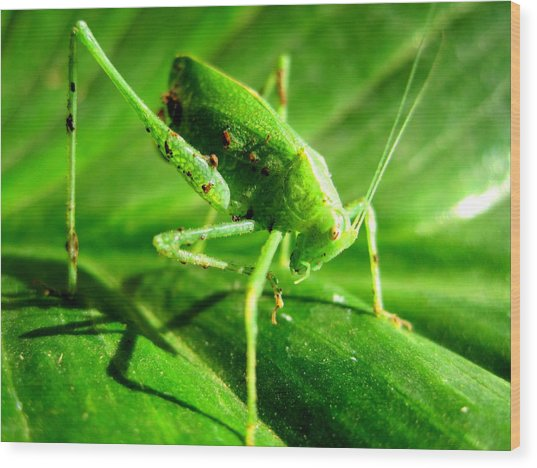 A Grasshopper Cleans Itself Wood Print by Catherine Natalia  Roche