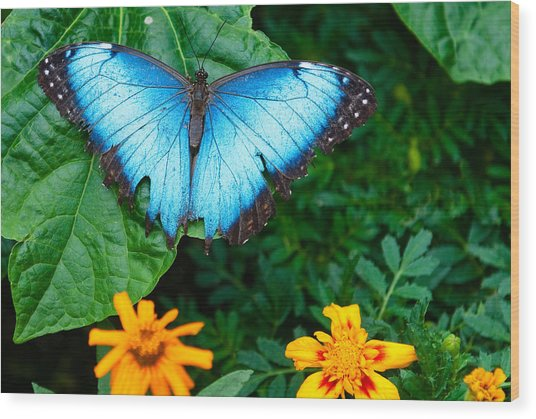 A Large Blue Butterfly Wood Print