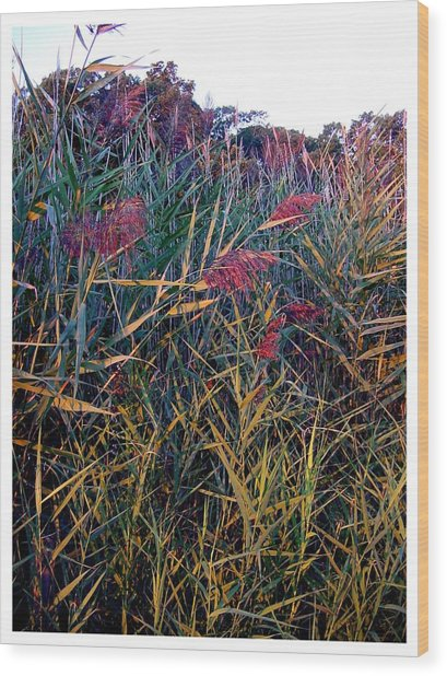 A Long Island Saltwater Grass In Bloom Wood Print