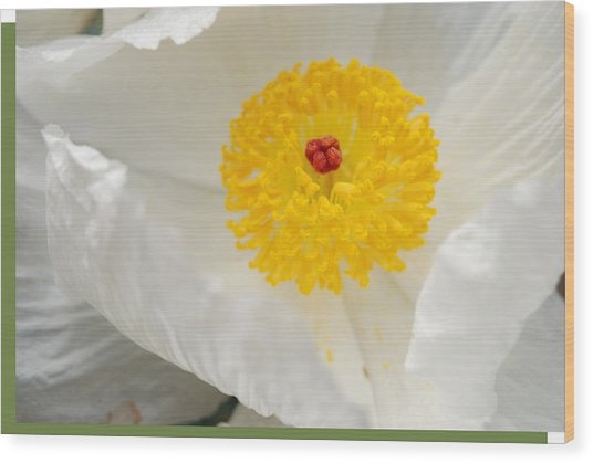 A Macro Of A White Mexican Poppy Flower Wood Print by Jennifer Holcombe