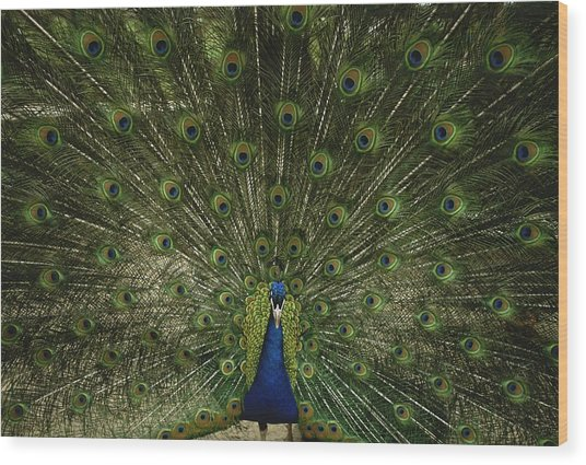 A Male Peacock Displays His Beautiful Wood Print