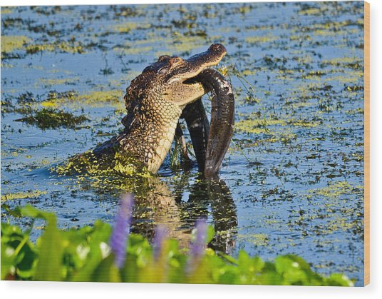 A Meal Fit For A Gator Wood Print by Julio n Brenda JnB