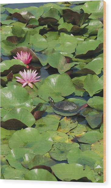 A Painted Turtle Rests On A Water Lily Wood Print