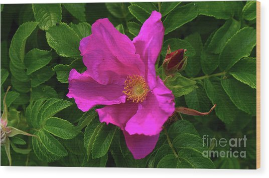 A Pair Of Wild Roses Wood Print