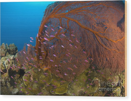 A Red Sea Fan With Purple Anthias Fish Wood Print