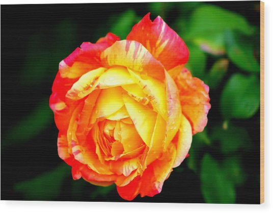 A Rose Wood Print by Jose Lopez