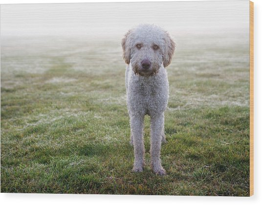 A Spanish Water Dog Standing A Field Wood Print