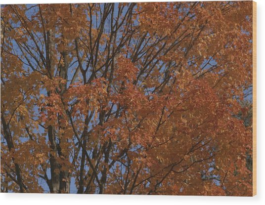 A Sugar Maple Blazes With Fall Color Wood Print