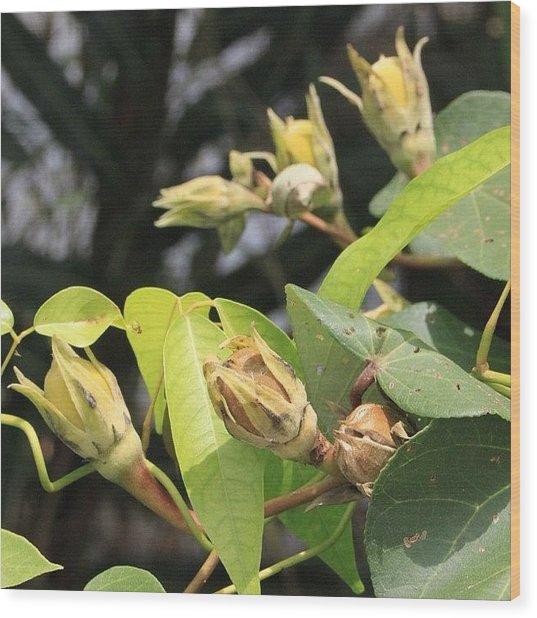A Wild Fruit Amongst The Mangroves Wood Print