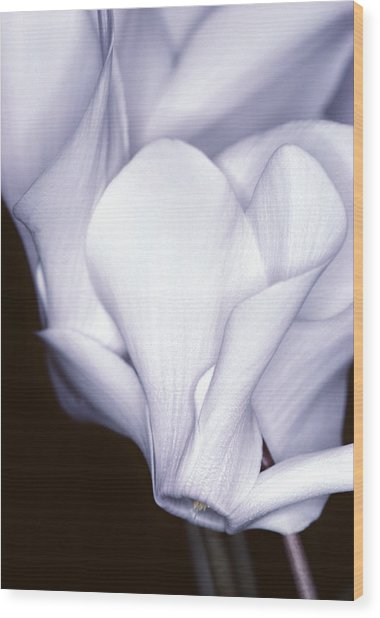 Silky Cyclamen Flowers Wood Print