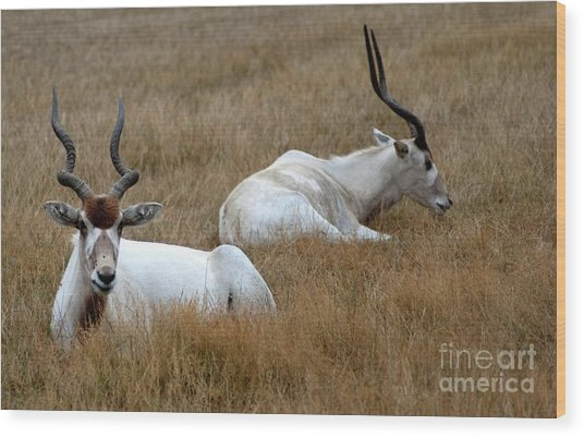 Addax Antelope Duo Wood Print