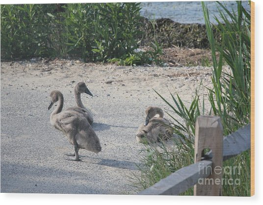 Adorable Ducklings Wood Print by Scenesational Photos