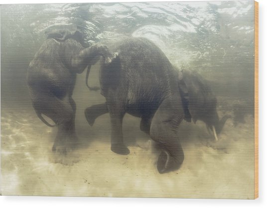 African Elephants Swimming Wood Print by Peter Scoones