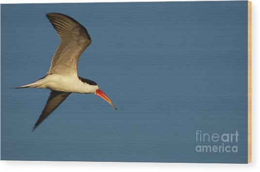 African Skimmer Wood Print