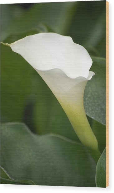 Afternoon Lily II Wood Print by Dickon Thompson