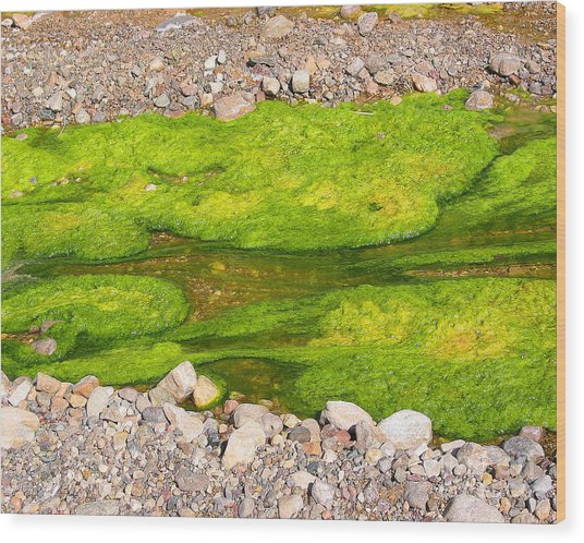 Algae Bloom Natural Abstract Art Of Nature Wood Print by Merton Allen