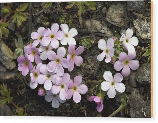 Alpine Rock-jasmine (androsace Alpina) Wood Print by Bob Gibbons