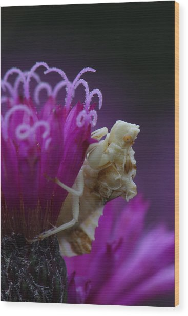 Ambush Bug On Tall Ironweed Wood Print