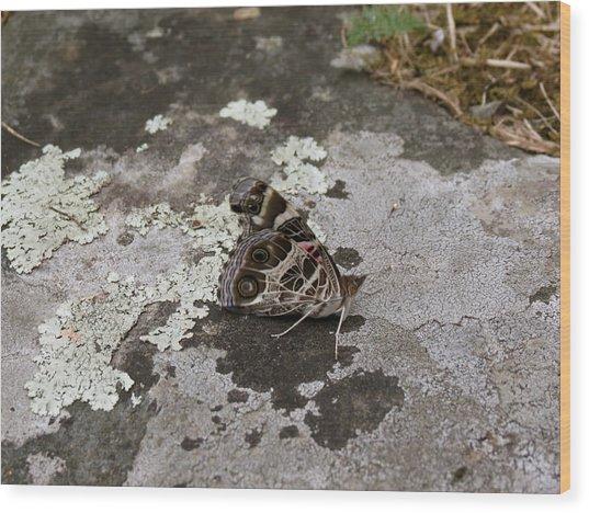 American Beauty Butterfly On Rock Wood Print