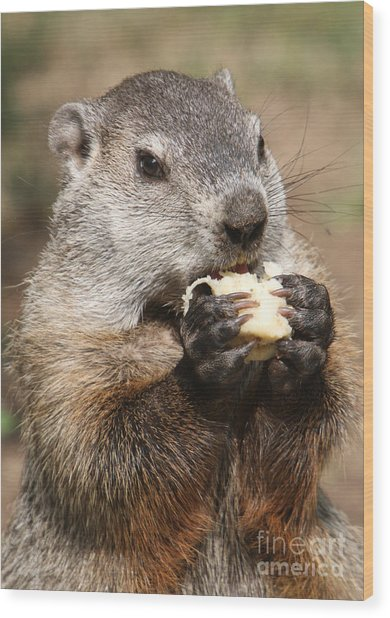 Animal - Woodchuck - Eating Wood Print