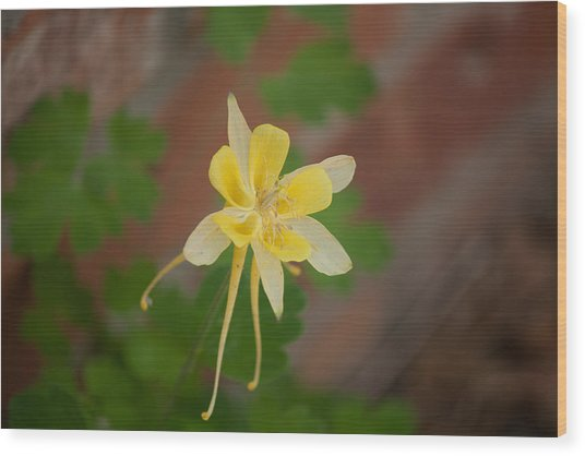 Another Columbine Wood Print by Jessica Lowell