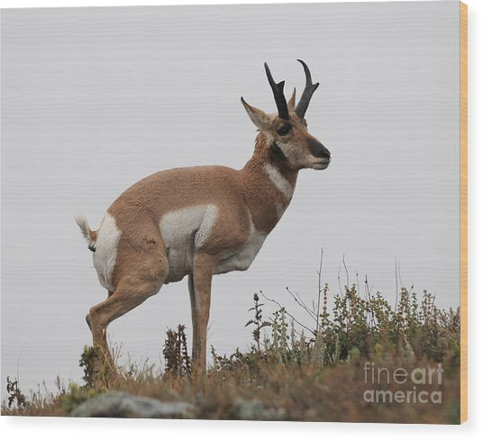 Antelope Critiques Photography Wood Print