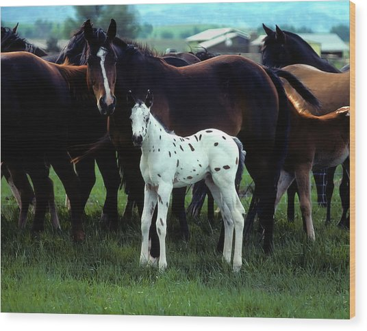 Appaloosa Foal White Spotted Wood Print