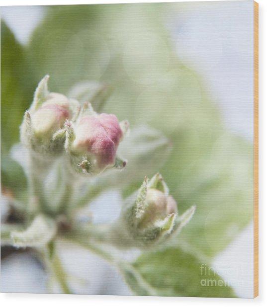Apple Tree Blossom Wood Print