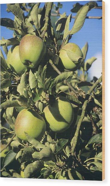 Apples Ripening On A Tree Wood Print by David Aubrey
