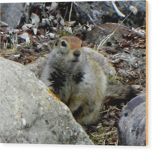 Arctic Ground Squirrel Wood Print by Mark Caldwell
