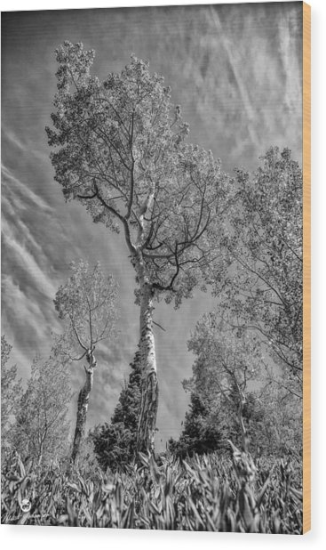 Aspen In The Sky Bw Wood Print by Mitch Johanson