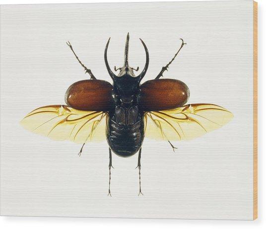 Atlas Beetle Wood Print by Lawrence Lawry