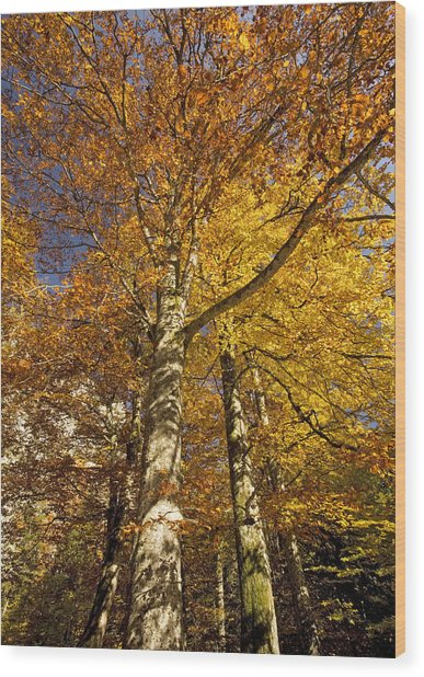 Autumn Colour Wood Print by Bob Gibbons