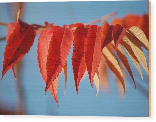 Autumn Scarlet Wood Print by Dickon Thompson