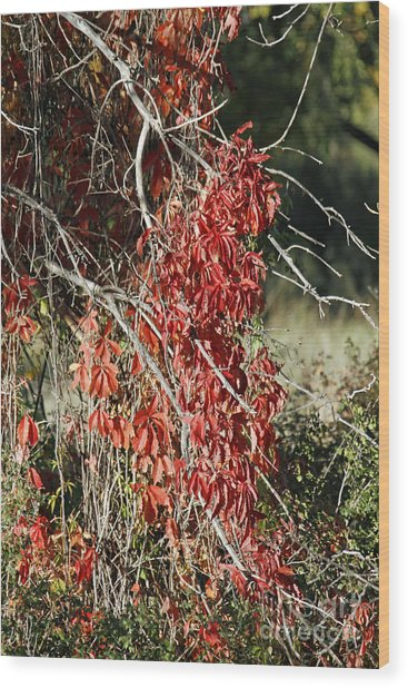 Autumns Red Vines Wood Print