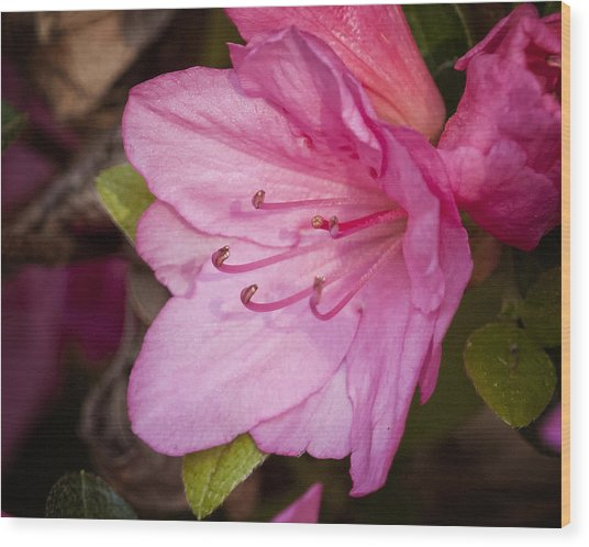 Azalea Up Close And Personal Wood Print by Michael Putnam