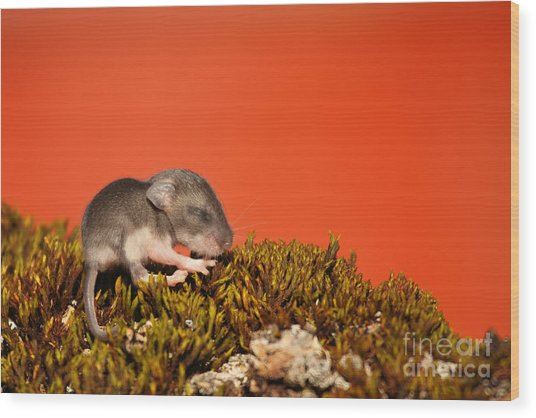 Baby Deer Mouse On Moss Wood Print by Max Allen