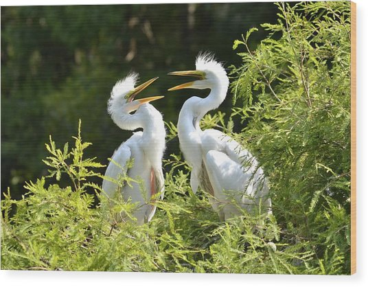 Baby Egrets Chattering Wood Print
