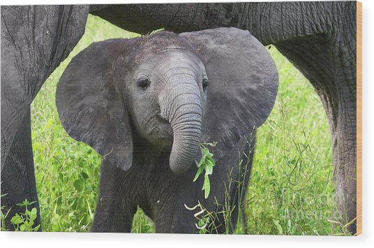 Baby Elephant With A Twig Wood Print