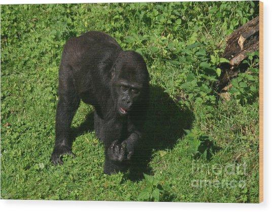 Baby Gorilla Find Own Feet Wood Print by Carol Wright