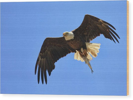 Bald Eagle Catch Wood Print