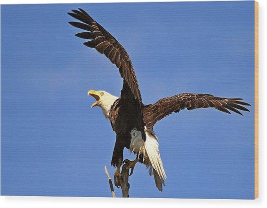 Bald Eagle Screaming Wood Print