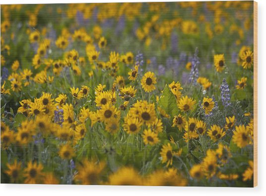 Balsamroot And Lupine Wood Print